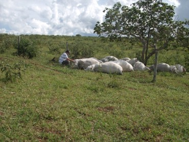 Vacas muertas bajo el árbol