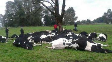 60 vacas